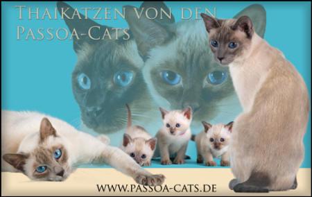 Thaikatzen von den Passoa-Cats